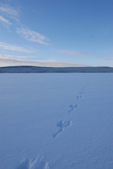 Hare tracks in snow across frozen lake.