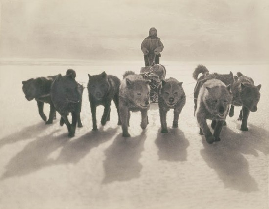 Dogs Pulling Sledge during first Australasian Antarctic Expedition, circa 1912.