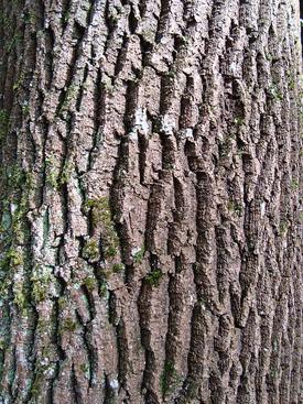 Ash, Fraxinus excelsior, bark