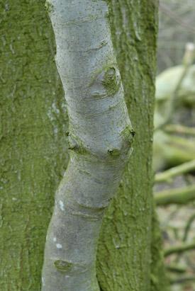 Beech, Fagus sylvatica, bark.