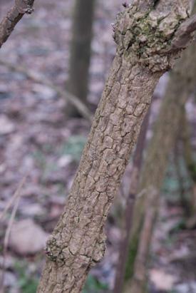 Elder, Sambucus nigra, bark.
