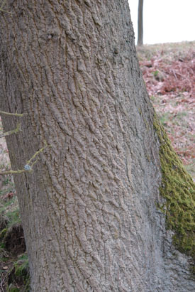 English Oak, Quercus robur, bark.