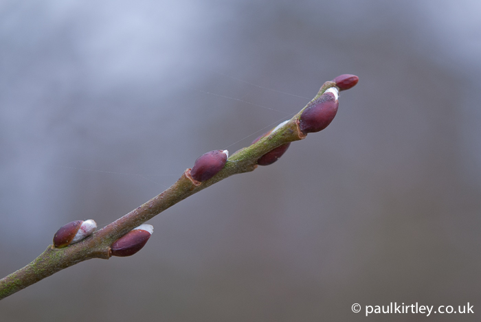 Willow, Salix caprea buds