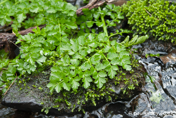 Hemlock Water Dropwort, Oenanthe crocata, new leaves