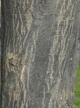 Hornbeam, Carpinus betulus, bark