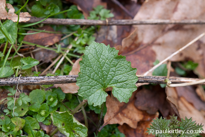 Garlic Mustard, Jack-by-the-Hedge, Alliaria petiolata, young leaf