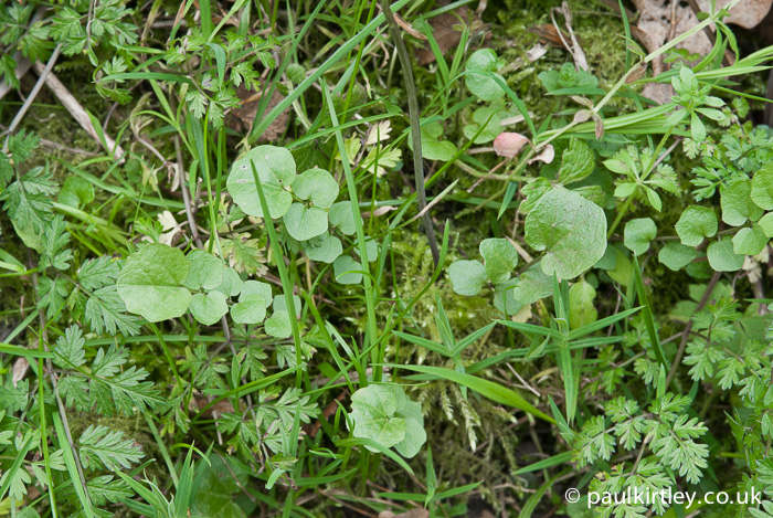 Lady's Smock, Cardamine pratensis, lower leaves, rosette