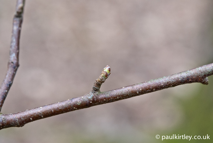 Silver birch bud starting to burst