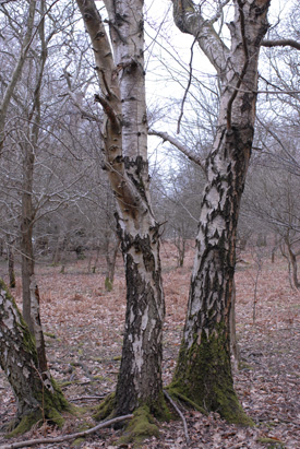 Silver birch, Betula pendula, bark