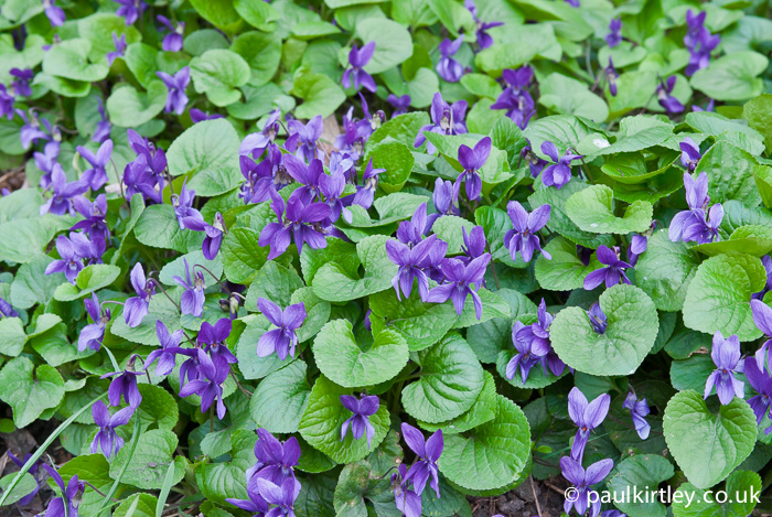 Sweet Violet, Viola odorata, leaves