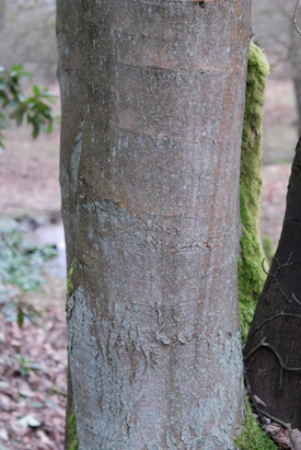 Sycamore, Acer pseudoplatanus, bark