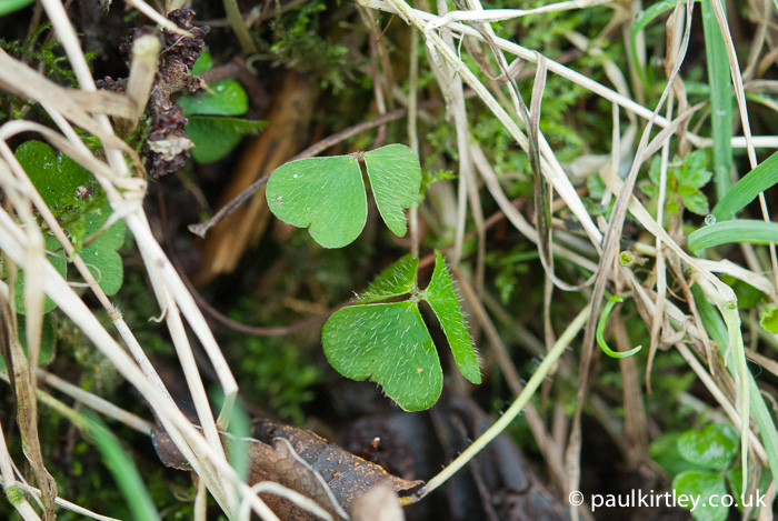 Wood Sorrel, Oxalis acetosella young leaves in spring