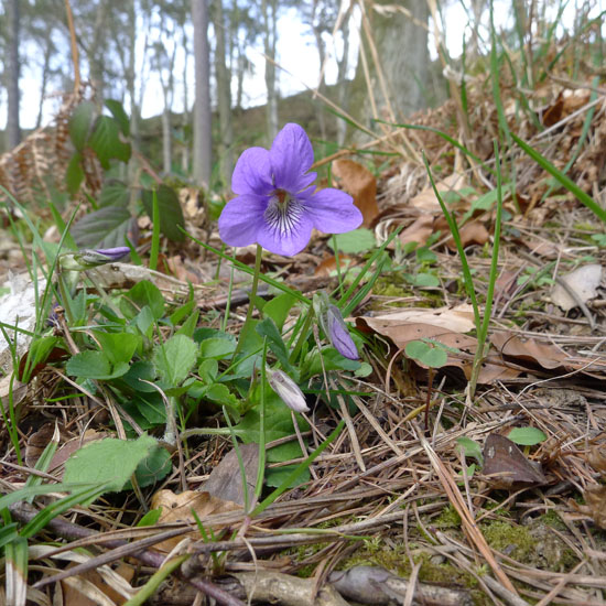 Common Dog-violet, Viola riviniana, lone flower