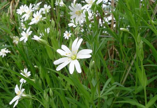 Greater Stitchwort, Stellaria holostea, flower