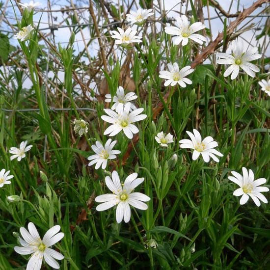 Greater Stitchwort, Stellaria holostea, wayside