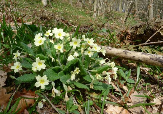 Primrose, Primula vulgaris rosette