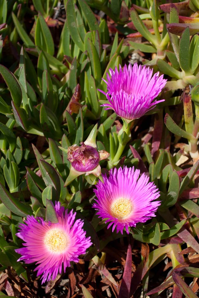 Hottentot Fig, Carpobrotus edulis, flowers and leaves
