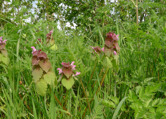 Red Dead-nettle, Lamium purpureum, East Sussex, April
