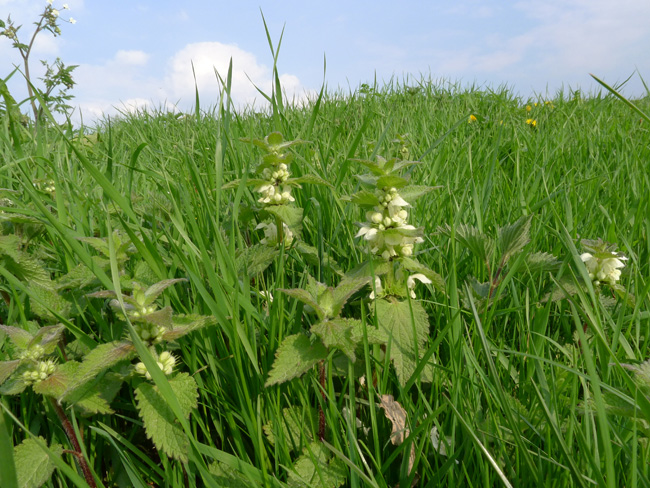 White Dead-nettle, Lamium Album, East Sussex, April
