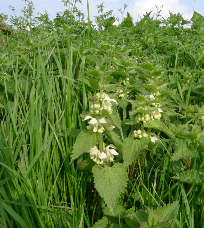 White Dead-nettle, Lamium album, leaf shape similar to Stinging Nettle