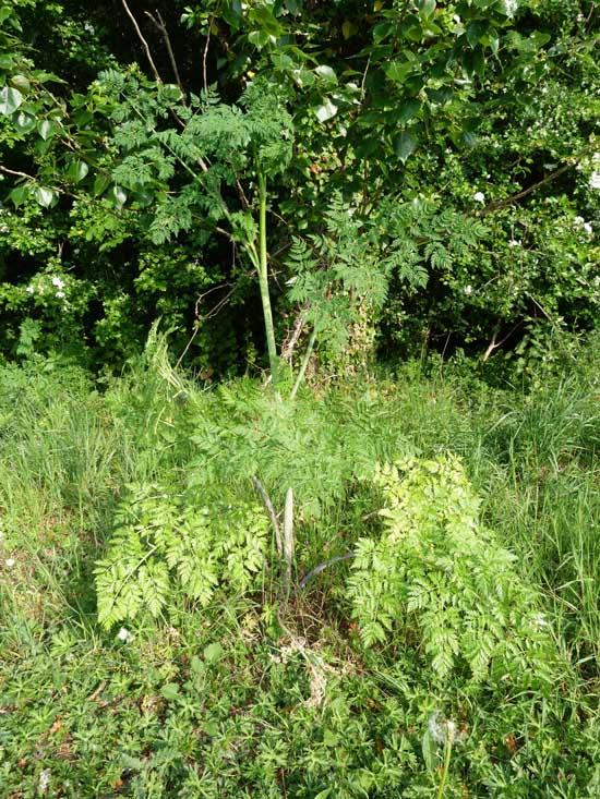 Hemlock, Conium maculatum, individual plant