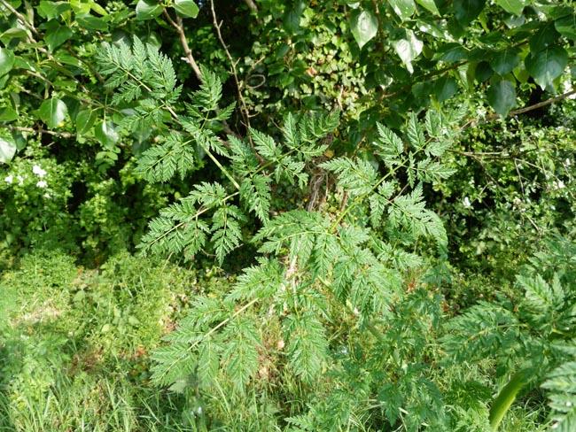 Hemlock, Conium maculatum, leaf structure