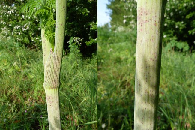 Hemlock, Conium maculatum, stem details
