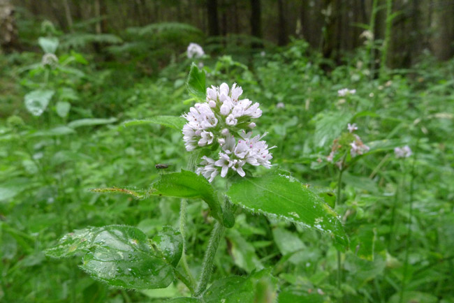 Post image for Water Mint, Mentha aquatica – A Not So Wild Tea