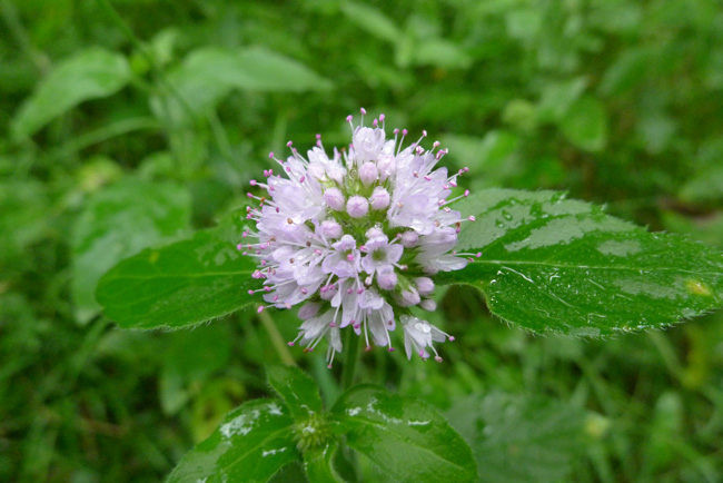 Water Mint, Mentha aquatica, flower and leaf