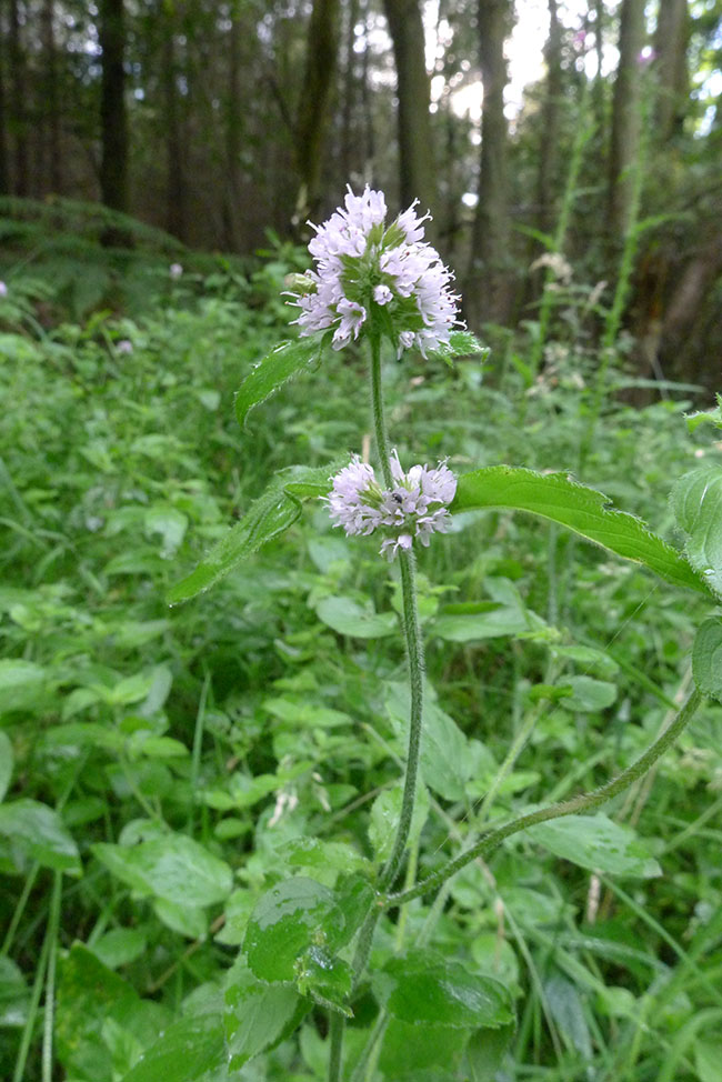 Water Mint, Mentha aquatica, stem, leaves, axillary and terminal flowers