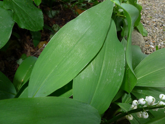 Lily-of-the-Valley, Convallaria majalis