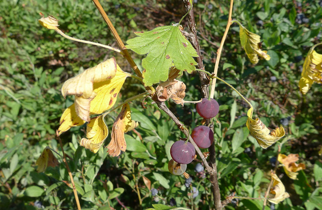 Gooseberries, French River, Ontario, Canada