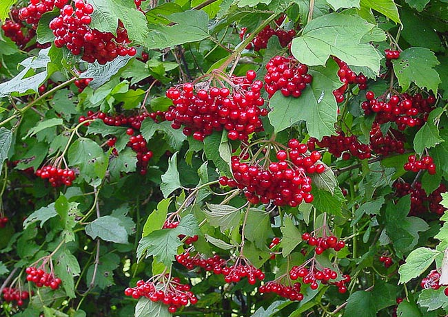 Guelder Rose Viburnum opulus leaves and berries