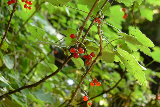 Red currant Ribes rubrum fruit raceme