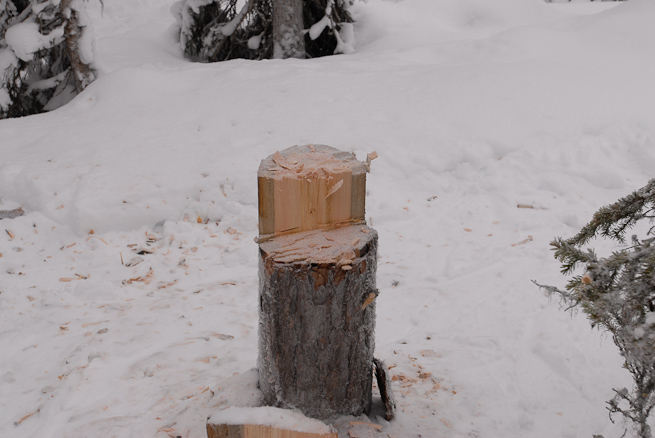 Stump of a felled dead, standing pine tree