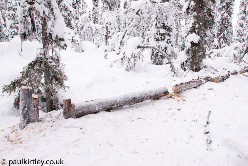 Felled dead standing Scots Pine trees in Sweden