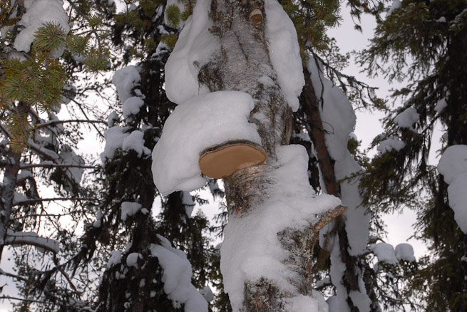 Horses hoof fungus Fomes fomentarius on birch tree in winter
