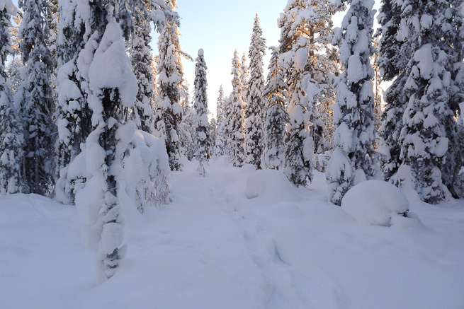 Avenue of snow-covered spruce trees in winter wonderland of snowy forest