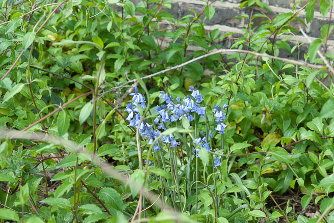 Bluebells by canal