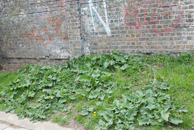 Burdock patch of leaves