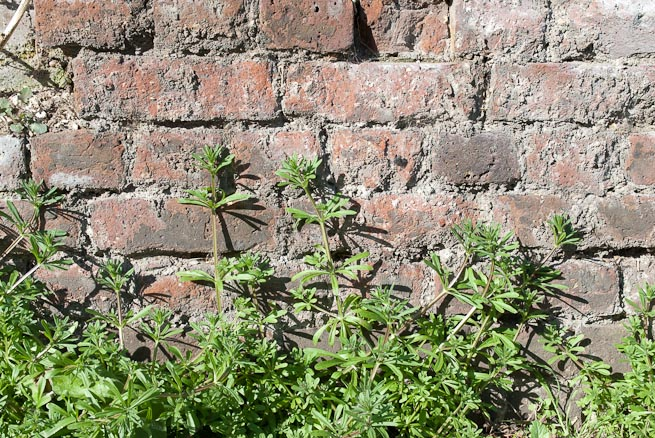 Cleavers or goosegrass