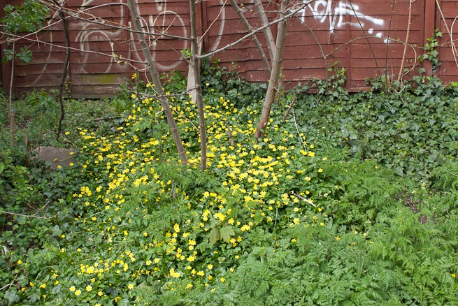 Patch of Celandines
