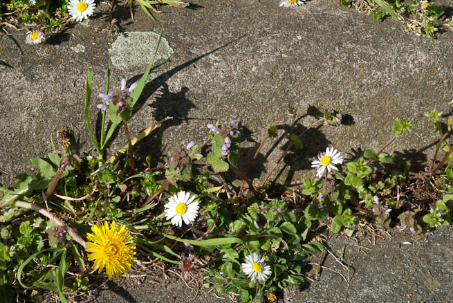 Dandelion, Daisy and Red Dead-nettle growing in cracked tarmac