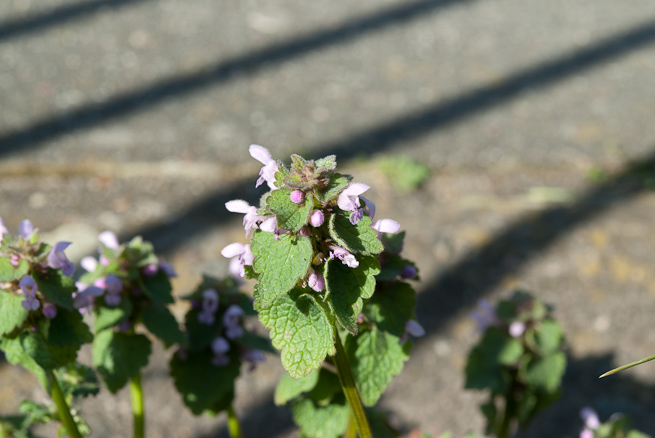 Red dead-nettle in an urban setting