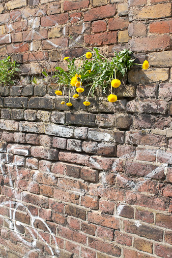 Dandelions on a wall