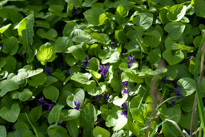 Viola odorata, Sweet Violet, flowers and leaves