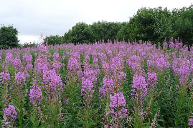 Rosebay willowherb stand