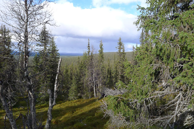 boreal forest landscape view from elevation