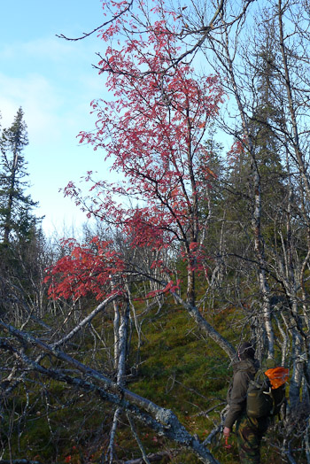 Red rowan mountain ash in Swedish mountains