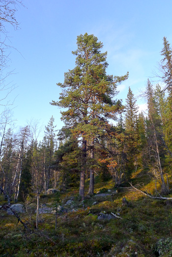 Scots pine in northern Sweden